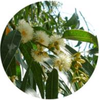 Aceites esenciales convencional eucalipto rectificado