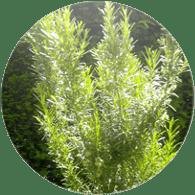Aceites esenciales ecológico romero cineolAceite esencial ecológico romero cineol