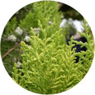 Aceite esencial ecológico cipres