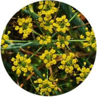 Aceites esenciales ecológicos hinojo dulce