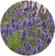 Aceite esencial ecológico hisopo cineol