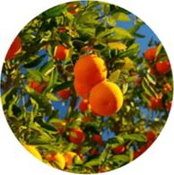 Aceite esencial ecológico naranja