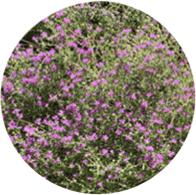 Aceites esenciales ecológico tomillo carrasqueño
