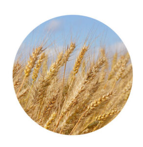aceites vegetales trigo