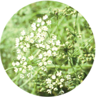 Conventional aniseed essential oil spanish