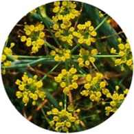 Conventional fennel sweet essential oil spanish