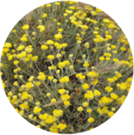 Conventional helichrysum oil