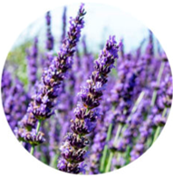 Conventional lavender oil spanish