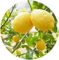 Conventional lemon essential oil spanish