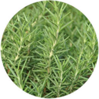 Conventional rosemary camphor essential oil spanish