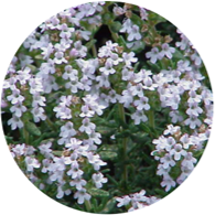 Conventional thyme linalol oil