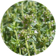 Conventional thyme red essential oil spanish