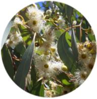 Organic eucalyptus glubulus crude essential oil