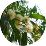Organic eucalyptus rectificado essential oil spanish