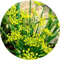 Organic fennel bitter essential oil spanish