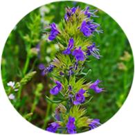 Organic hyssop isopinocamphone essential oil