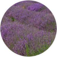 Organic lavandin super essential oil