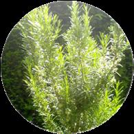 Organic rosemary cineole essential oil
