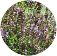 Organic sage officinalis essential oil