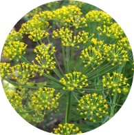 conventional dill weed oil