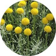 organic manzanilla essential oil santolina